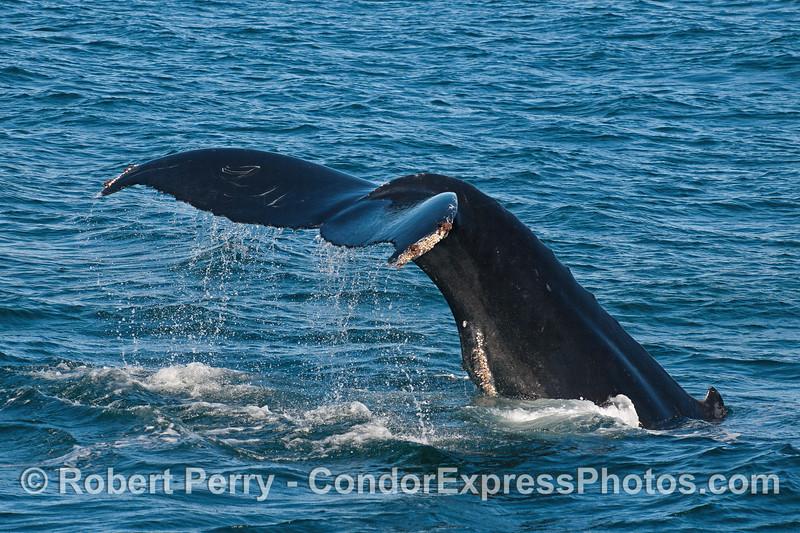 Tail fluke waterfall - a humpback whale.
