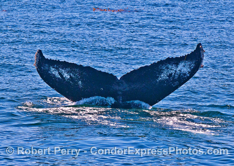 """The """"fingerprint"""" of a humpback whale is the underside of its tail."""