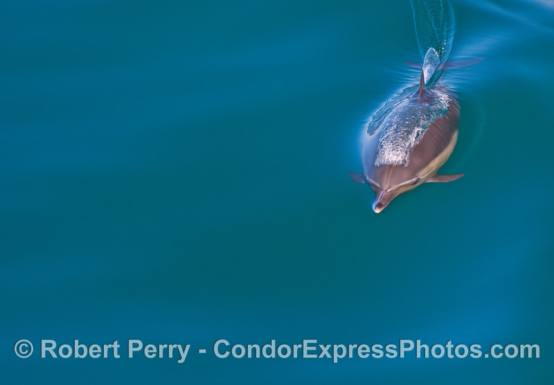 Image 1 of 2:  a long-beaked common dolphin heading for the camera.