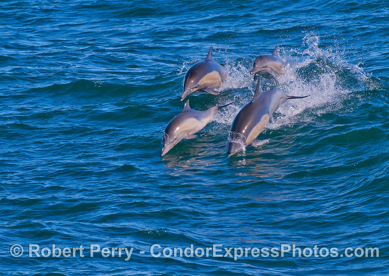 Four leaping long-beaked common dolphins.