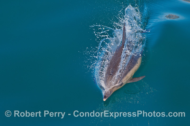 Image 2 of 2:  a long-beaked common dolphin heading for the camera.