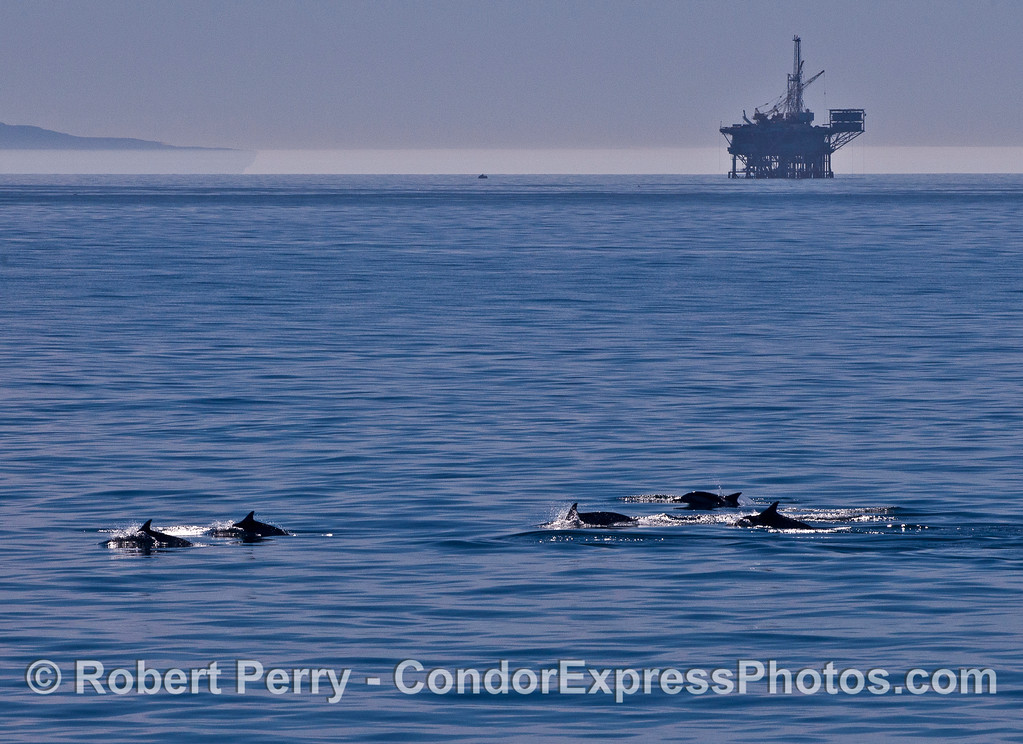 A line of long-beaked common dolphins with an oil platform in the background.