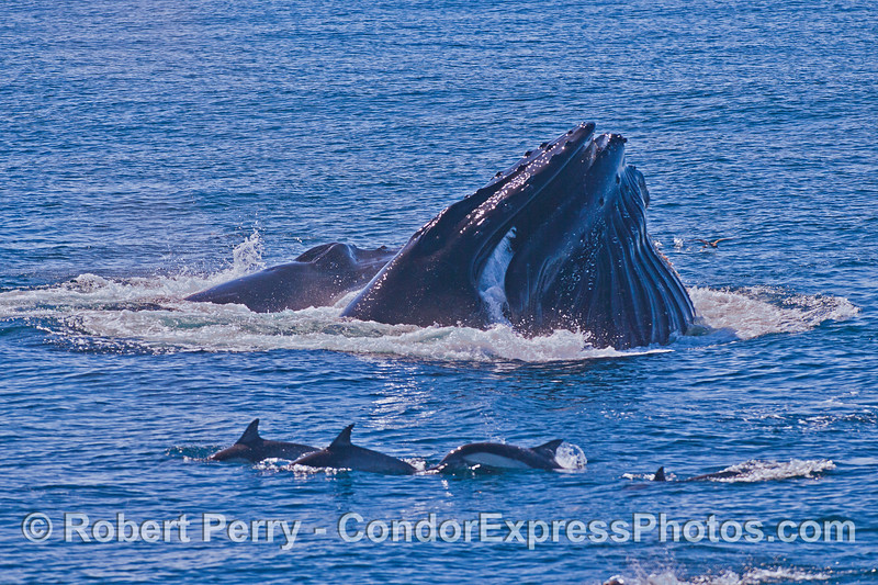 Image 5 of 6 in a row:  surface lunge feeding by two humpback whales consuming northern anchovies.
