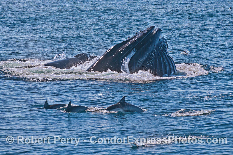 Image 6 of 6 in a row:  surface lunge feeding by two humpback whales consuming northern anchovies.