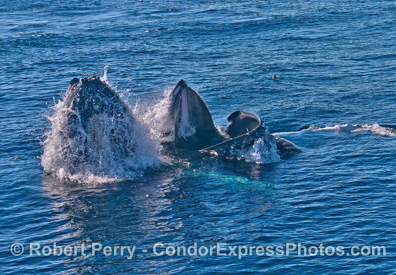 Image 1 of 5 in a row:  surface lunge feeding by two humpback whales consuming northern anchovies.