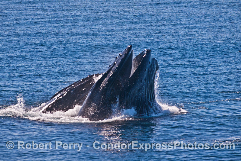 Image 3 of 6 in a row:  surface lunge feeding by two humpback whales consuming northern anchovies.