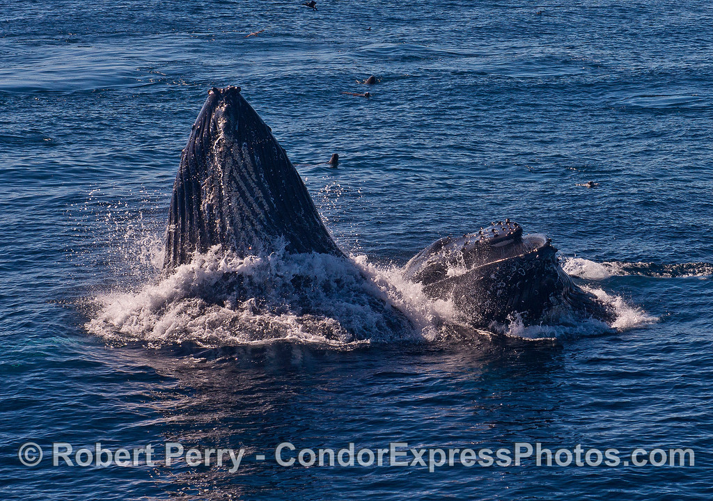 Image 3 of 5 in a row:  surface lunge feeding by two humpback whales consuming northern anchovies.