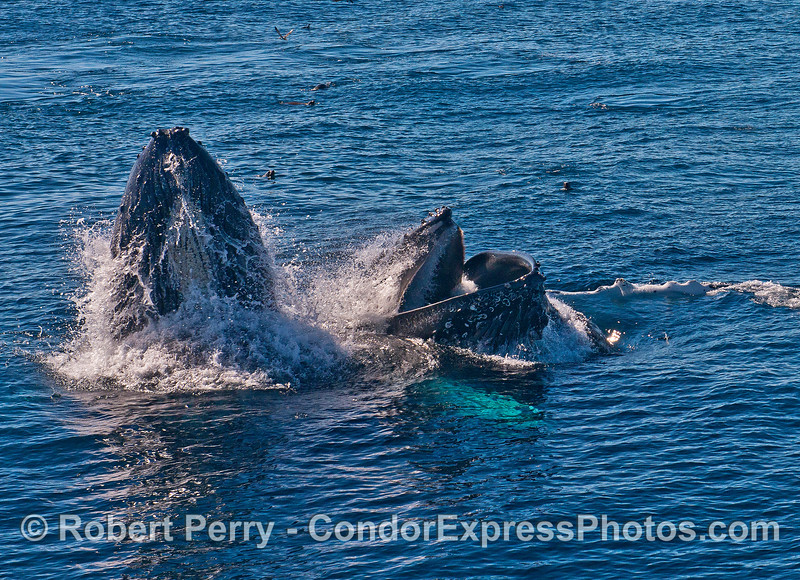 Image 2 of 5 in a row:  surface lunge feeding by two humpback whales consuming northern anchovies.