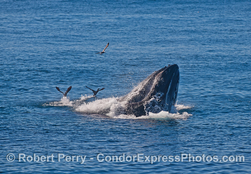 Image 2 of 6 in a row:  surface lunge feeding by two humpback whales consuming northern anchovies.
