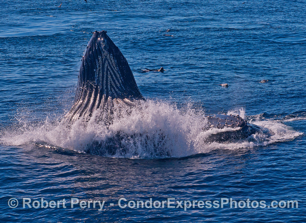 Image 5 of 5 in a row:  surface lunge feeding by two humpback whales consuming northern anchovies.