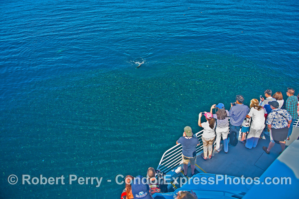 A California sea lion approaches the edge of a giant northern anchovy bait ball with passengers looking on.