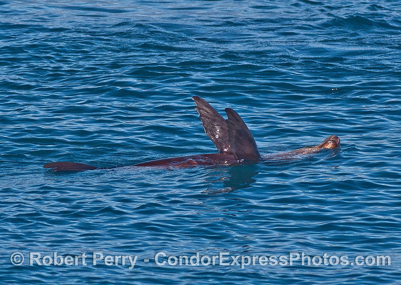 Image 1 of 2:  a lazy California sea lion rests on the surface with both pectoral flippers in the air.