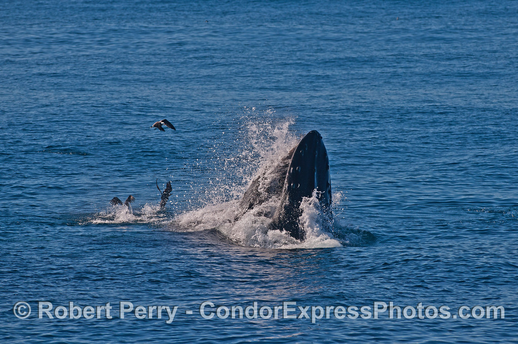 Image 1 of 6 in a row:  surface lunge feeding by two humpback whales consuming northern anchovies.