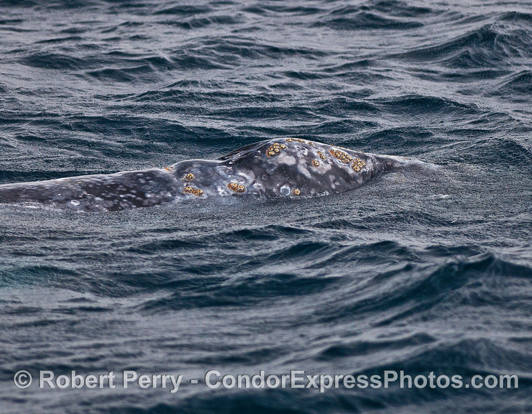Gray whale with barnacles near blowhole.