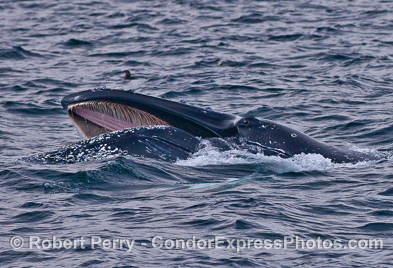Humpback whale surface lunge feeding with eyeball and baleen visible.