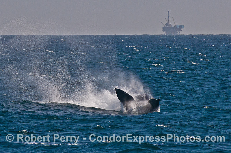 Humpback whale tail throw sequence --  image 3 -- Platform Habitat in background.