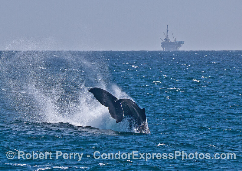 Humpback whale tail throw sequence --  image 2 -- Platform Habitat in background.