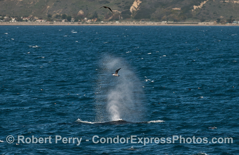 Humpback whale spout in breezy conditions --- with a Heermann's gull.