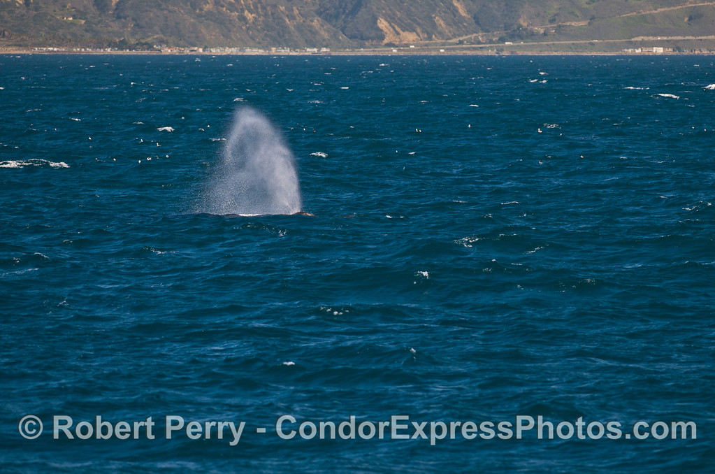 Humpback whale spout in breezy conditions -- Hwy 101 in background.