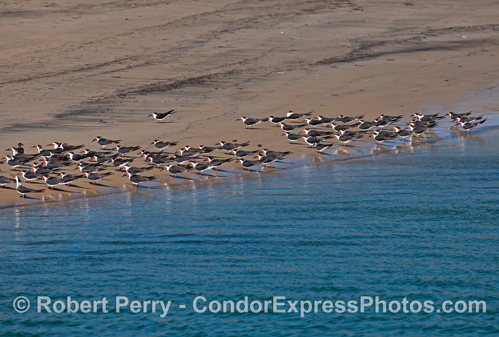 A flock of black skimmers resting in the sun -- West Beach, Santa Barbara Harbor