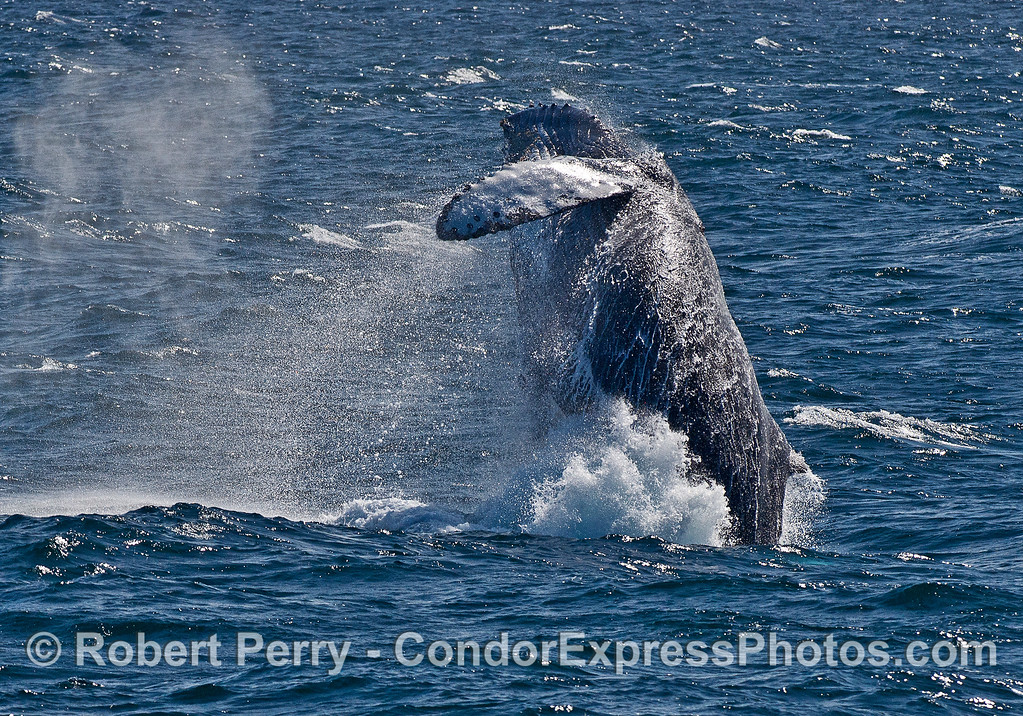 Humpback whale breach sequence -- Image 3
