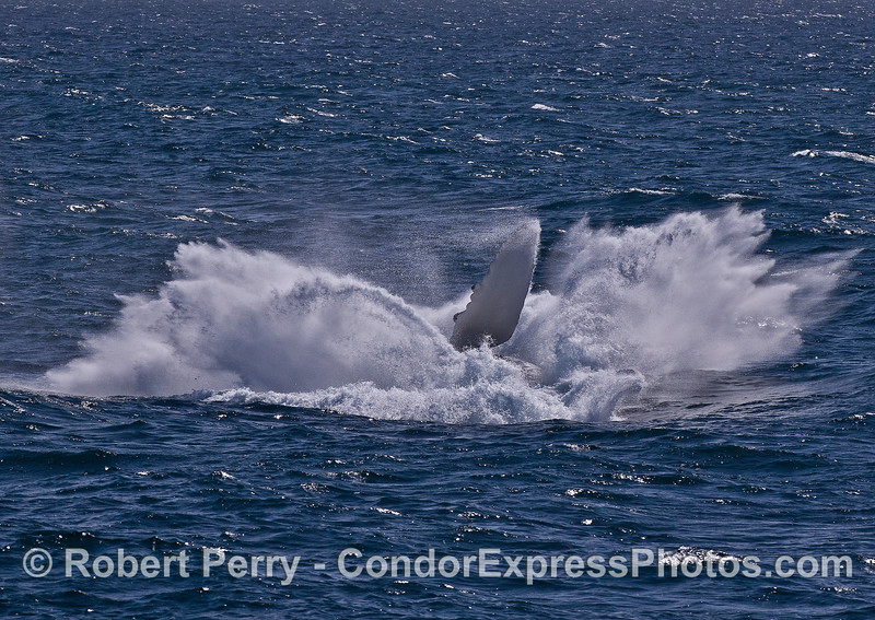 Humpback whale breach sequence -- Image 6 -- splash down !