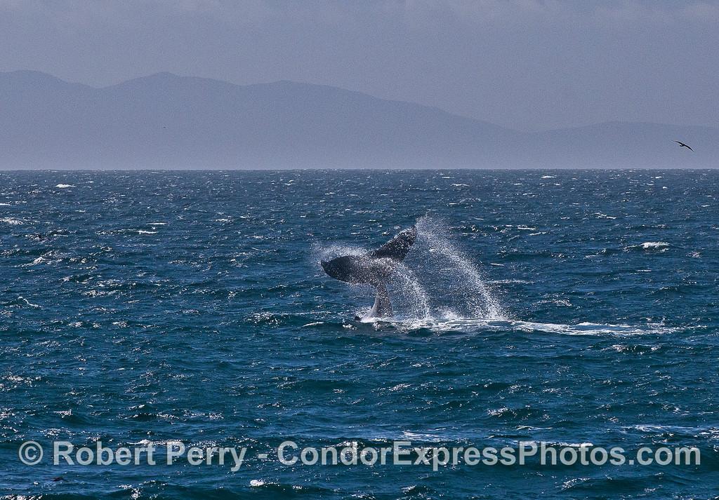 Tail slapping humpback enjoying the wind.  Santa Cruz Island in back.