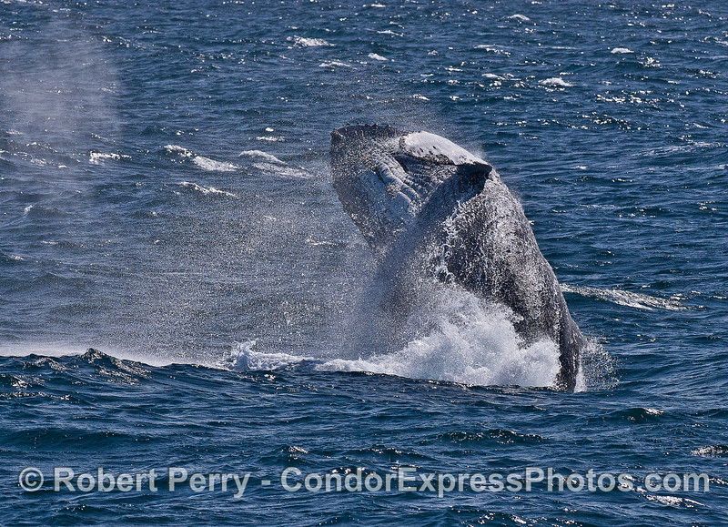 Humpback whale breach sequence -- Image 4