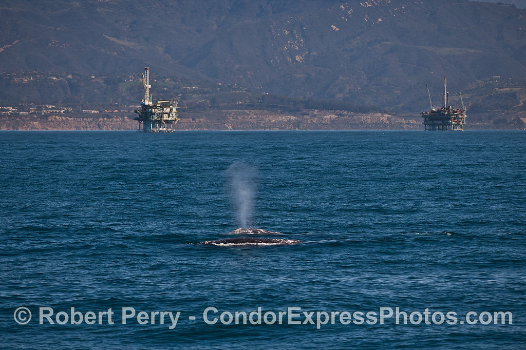 Two gray whales with the mainland coast and Summerland oil  platforms.