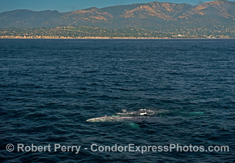 Two gray whales in clear blue water with the Mesa, Santa Barbara, in the background.