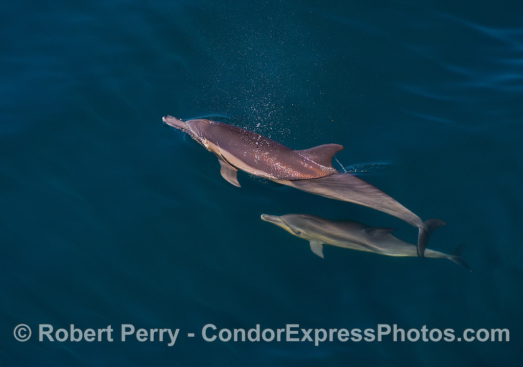 Image 1 of 4:  Long-beaked common dolphin mother and her calf.