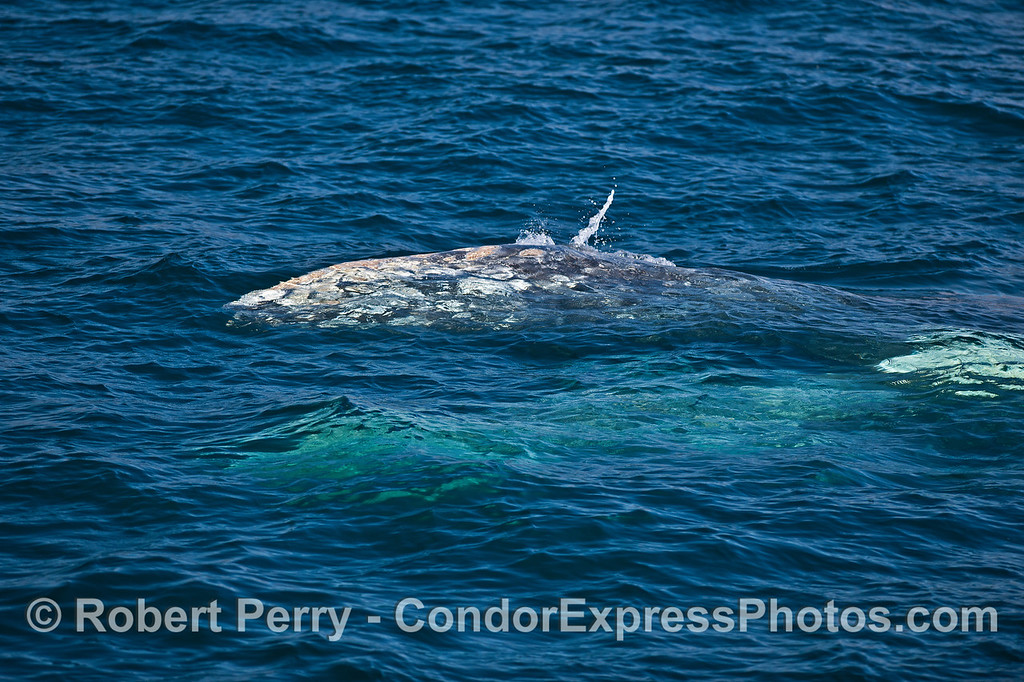 Socializing gray whales.