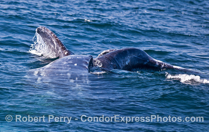 Image 1 of 2:  gray whales rolling around together.