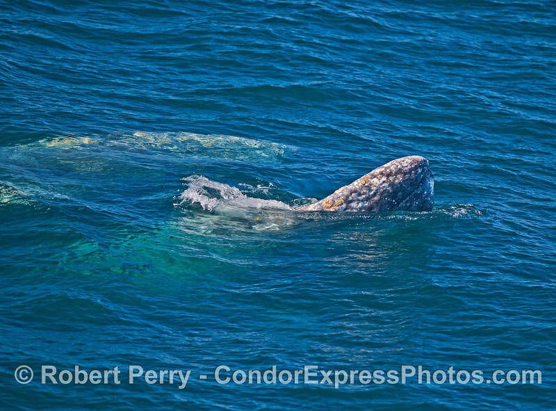 Gray whales interact.