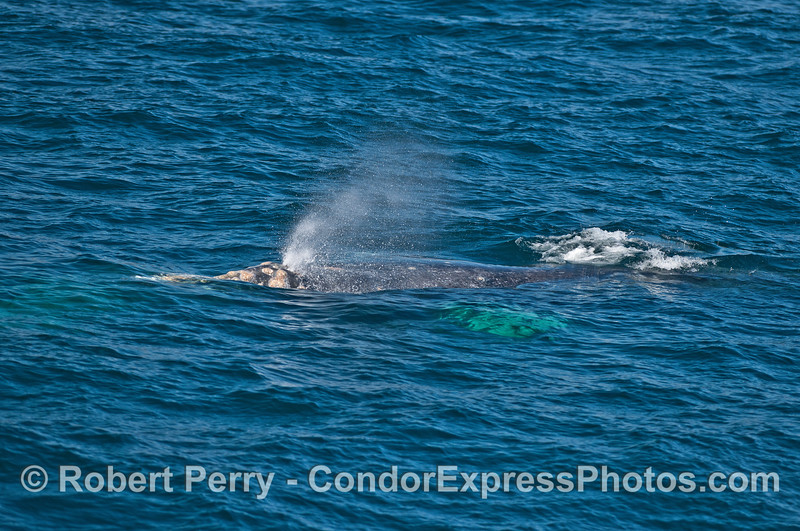 Gray whales.
