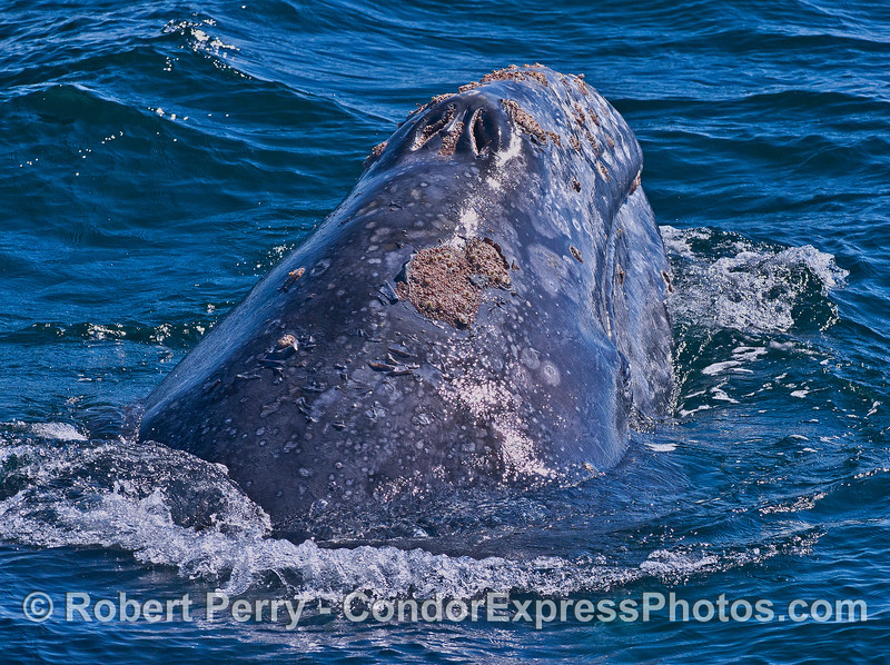 Gray whale chin-lift.