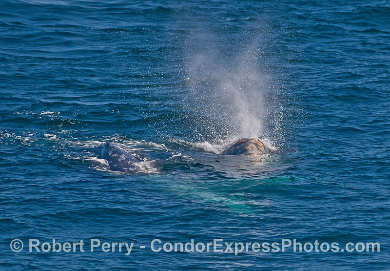 Gray whales socializing.
