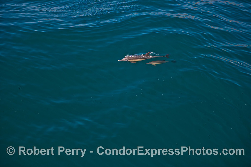 Image 4 of 4:  Long-beaked common dolphin mother and her calf.