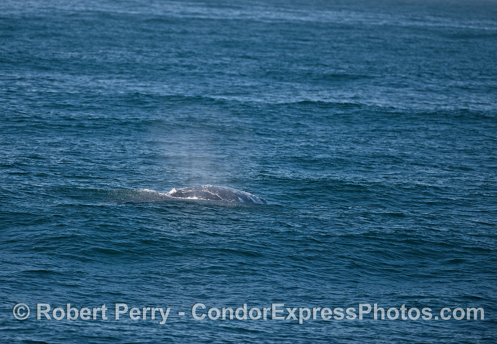 Gray whale moving agains the swells.