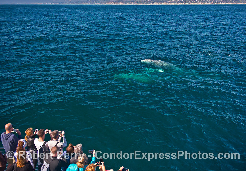 Two gray whale socialize close to their fans on the boat.