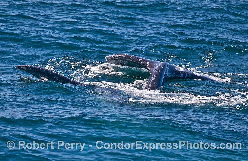 Image 2 of 2:  gray whales rolling around together.