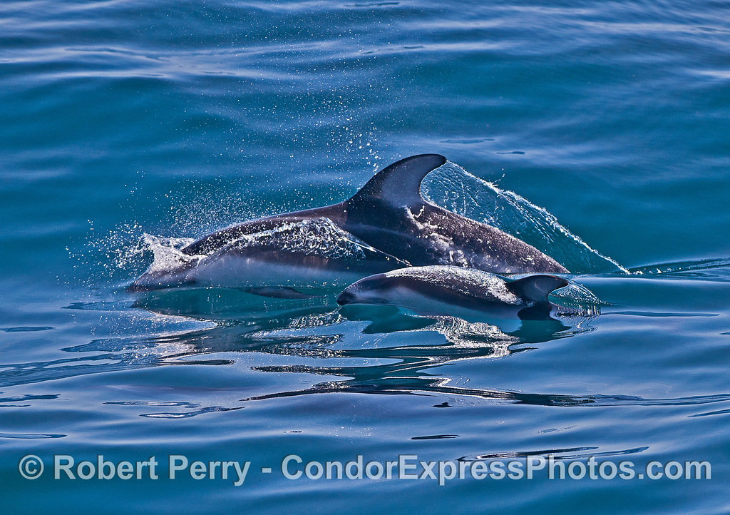 Mother Pacific white-sided dolphin and her calf.