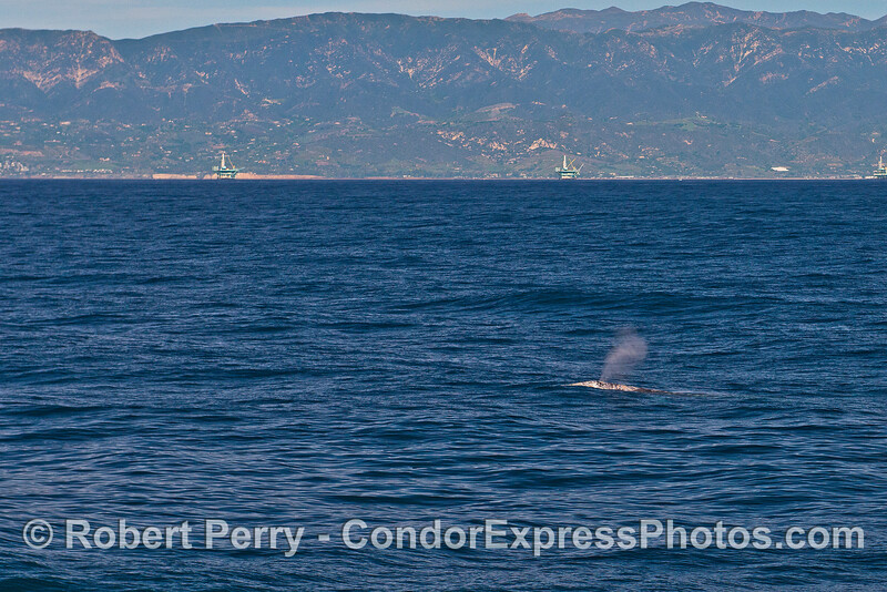 Gray whale spouts with Santa Barbara coast in back