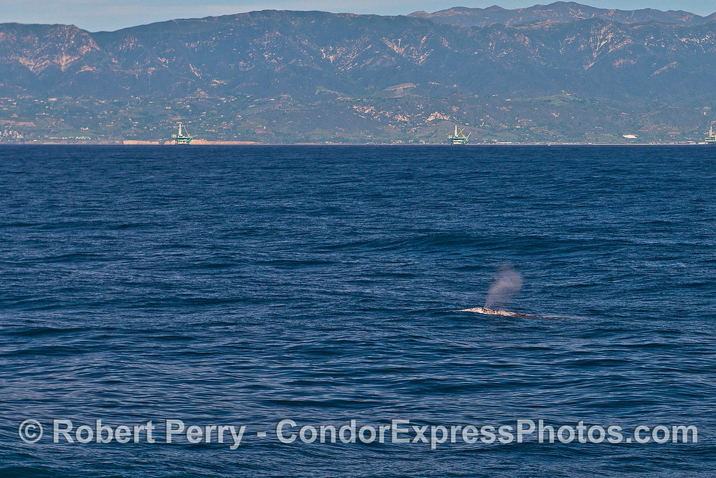 Gray whale spouts with Santa Barbara coast in back