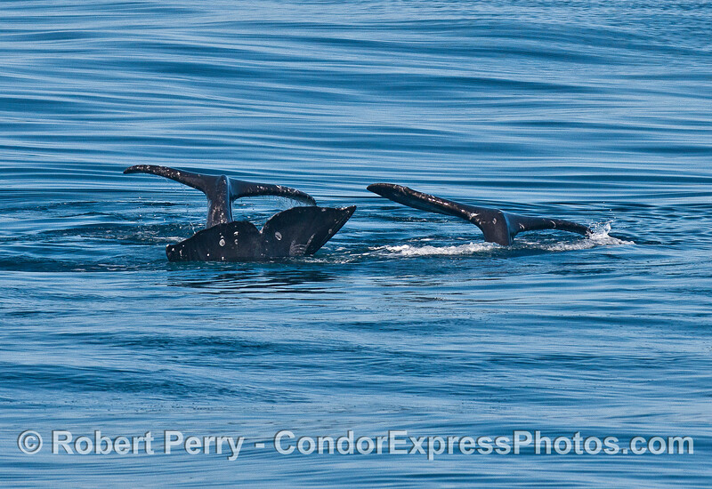 A trio of tail flukes.  Gray whales mating.
