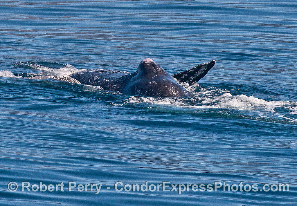 Gray whales mating.  Enlarged male genital slit (opening for penis).