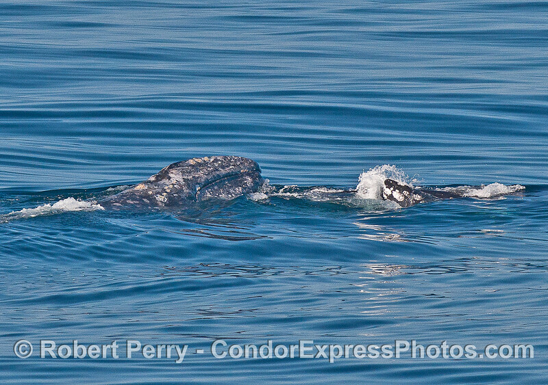 Gray whales mating...head resting on partner's body.
