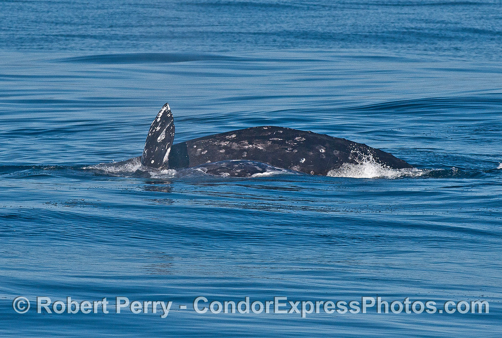Gray whales mating