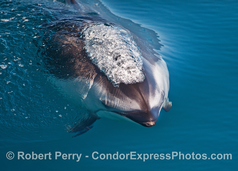 Friendly Pacific white-sided dolphin.