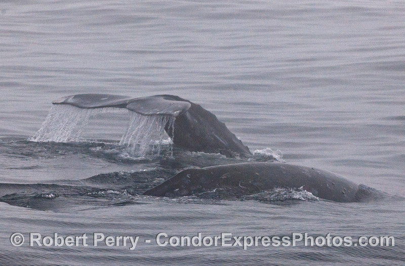 Gray whales in the fog.
